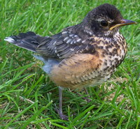 image of a baby robin bird